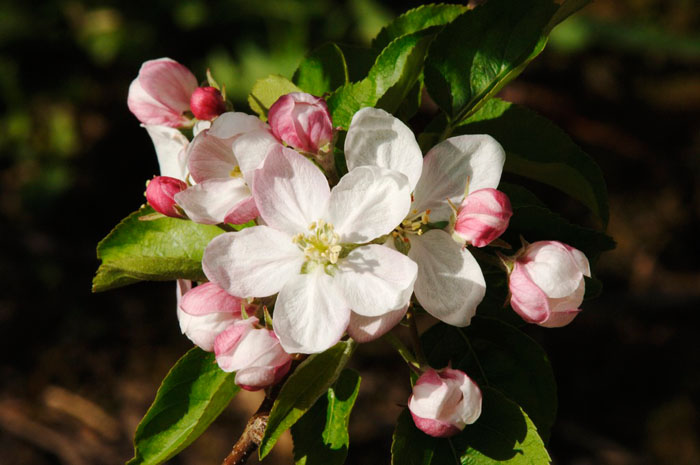 Apple blossom in detail