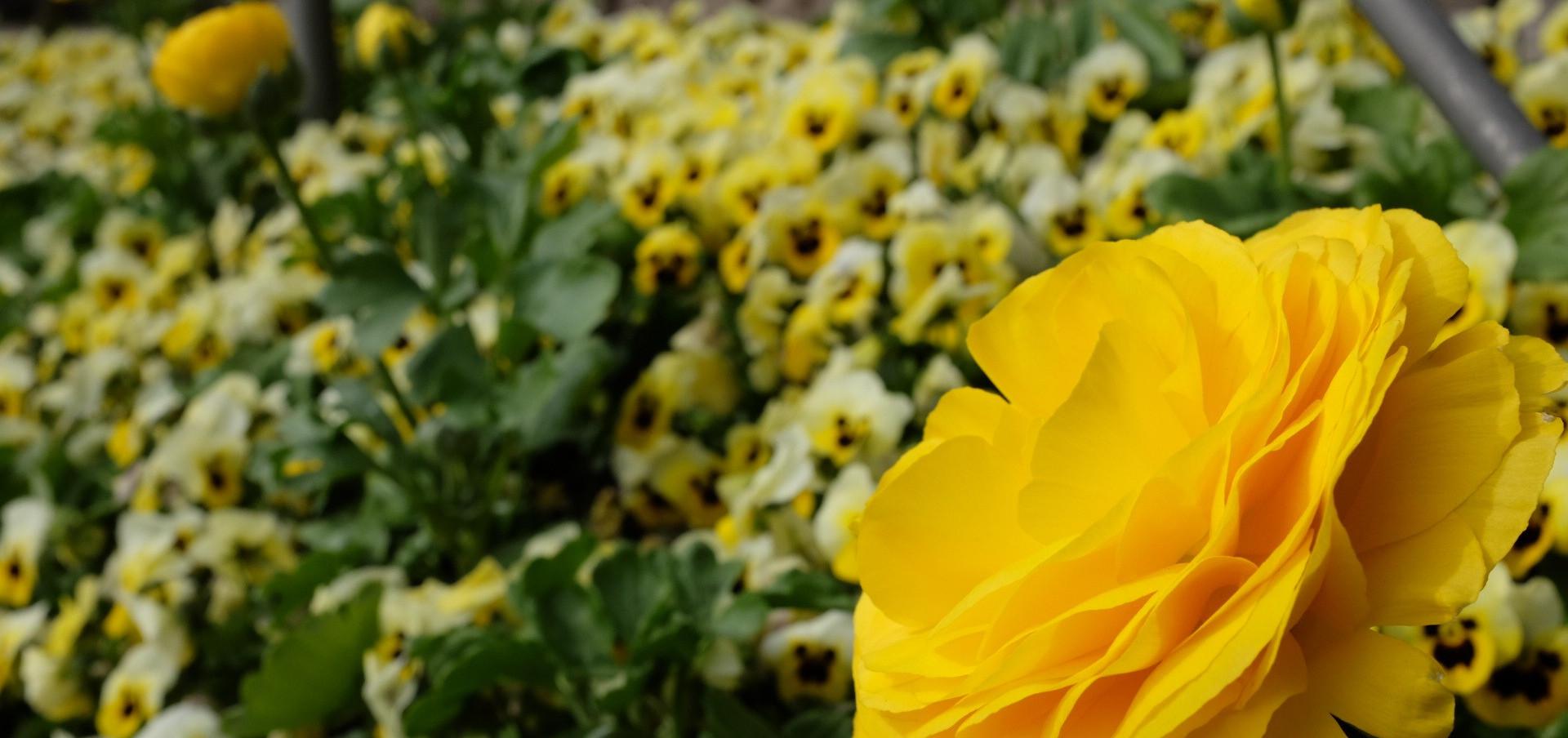 Blumen Trautmansdorff
