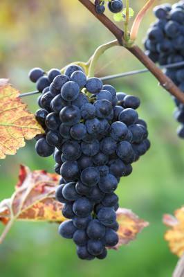 Reife, blaue Weintrauben - Törggelezeit in Südtirol