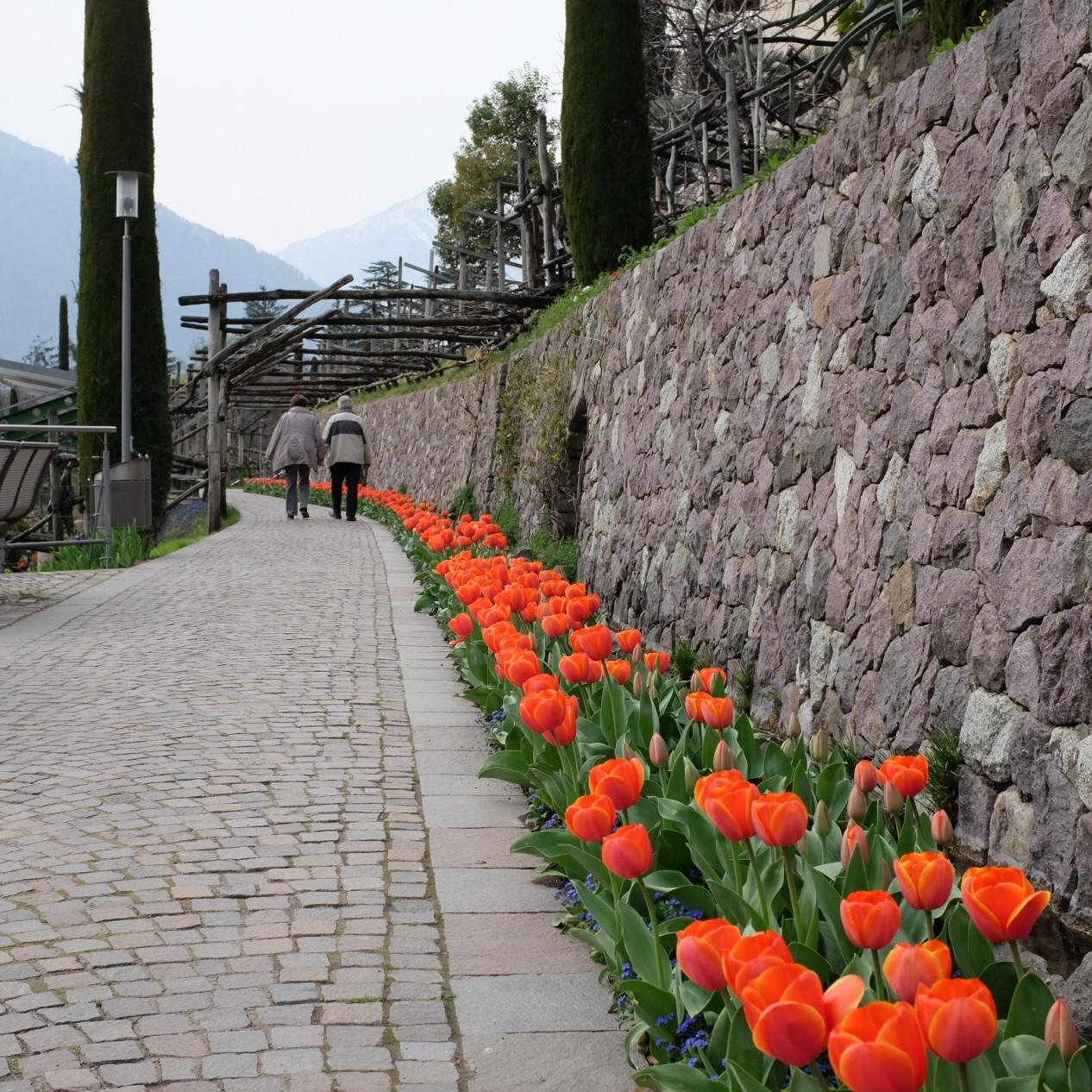 Tulpen in den Gärten von Meran