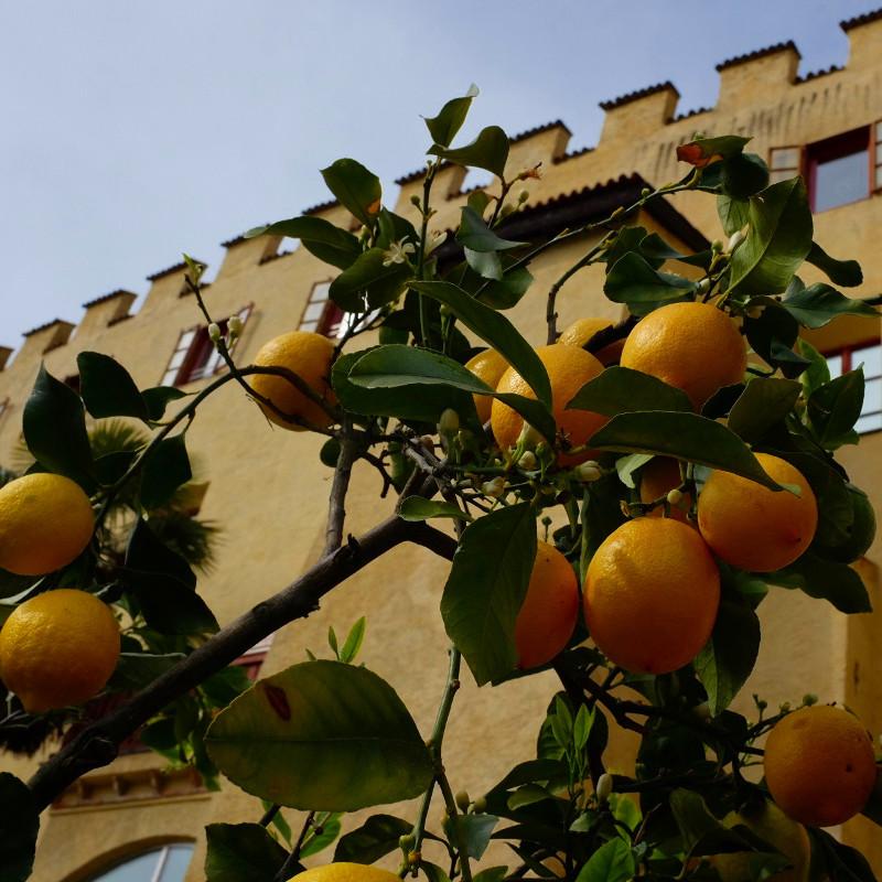 Zitronen in den Gärten von Trautmansdorff